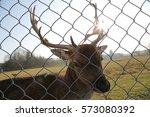 Beautiful Fallow Deer With Big...