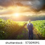Farmer Walking In Corn Fields...