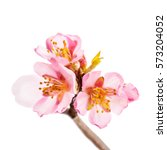 spring flowering branches  pink ... | Shutterstock . vector #573204052