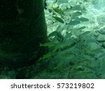 Small photo of A school of French Grunts hiding by a pier from predators.
