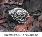 Rose Shaped Fungi With White...