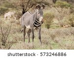 Grevy's Zebra Standing On A...