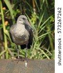 Small photo of Hadeda ibis.