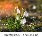 Spring Snowdrop Flowers...