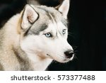 White And Gray Adult Siberian...