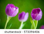 lilac tulips with fresh green... | Shutterstock . vector #573396406