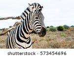 zebra scratching its back in... | Shutterstock . vector #573454696