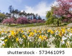Field Of Daffodils During The...