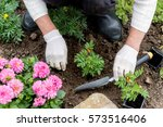 Woman Is Planting Marigold ...