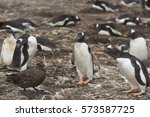 Small photo of Gentoo Penguins (Pygoscelis papua) warn off a Falkland Skua (Catharacta antarctica) lurking on the edge of their colony on Bleaker Island in the Falkland Islands