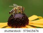 Orange Coneflower With A Bee
