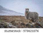 Sheep Under A Snowfall