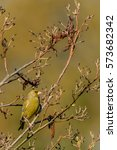 Small photo of Male greenfinch (Carduelis chloris) perching in an alder tree (Alnus) in Springtime. Devon, UK