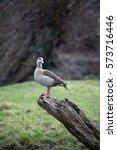 Small photo of Egyptian goose (Alopochen aegyptiacus) on stump of tree