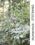Small photo of Tall American beautyberry bush in the forest