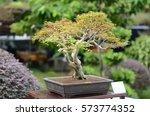 Bonsai Tree In Garden.
