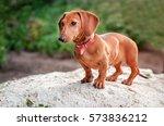 Stock photo dachshund dog 573836212