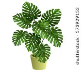 monstera plant in pot. hand... | Shutterstock .eps vector #573929152