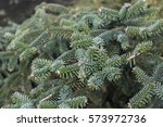 Small photo of Spanish fir (Abies pinsapo) branches