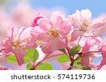 flowering crab apple in japan. | Shutterstock . vector #574119736