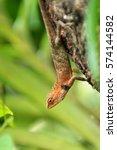 draco lizard or cicak kubin on... | Shutterstock . vector #574144582