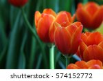 Beautiful Orange Tulips.