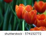 Beautiful Orange Tulips.