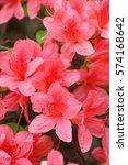 pink azalea blossom in... | Shutterstock . vector #574168642