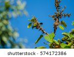 Small photo of Common Iora on the branch in nature (Aegithina tiphia)