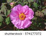 paeonia suffruticosa in japan. | Shutterstock . vector #574177372