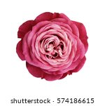 Stock photo pink red white rose flower white isolated background with clipping path nature closeup no 574186615
