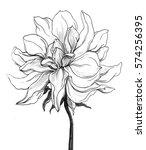 tropical white hawaiian dahlia... | Shutterstock . vector #574256395