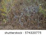 blue eryngium  medical herbal... | Shutterstock . vector #574320775