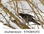 Male Common Blackbird Bird In...