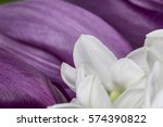 white narcissus petals with... | Shutterstock . vector #574390822