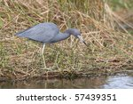 Little Blue Heron  Egretta...