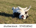 Stock photo alaskan malamute laughing dog 574518562