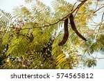Small photo of Albizia Procera