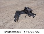 Small photo of Habituated raven flying after feeding