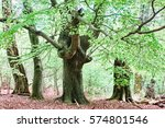 Old Pastoral Beech Forest In...