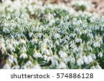 spring snowdrops. a lot of... | Shutterstock . vector #574886128