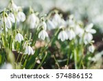 spring snowdrops. a lot of... | Shutterstock . vector #574886152