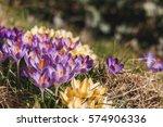 Crocus Flower Heads. Pretty...