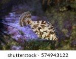Small photo of Bristle-tail filefish (Acreichthys tomentosus).