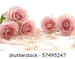 Beautiful Rose On White