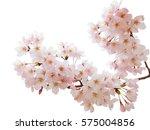 japanese cherry blossom   Shutterstock . vector #575004856