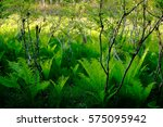 green fern in marsh | Shutterstock . vector #575095942