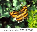 Small photo of Common Jester butterfly (Symbrenthia Lilaea), Hong Kong
