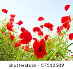 Bright Red Poppies In Sunny Day