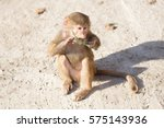 Baby Baboon Sitting On A Rock ...